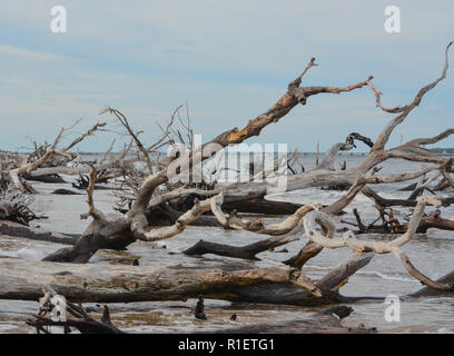 Driftwood Beach,Big Talbot Island State Park,Duval county,Atlantic Ocean,Florida - Stock Photo