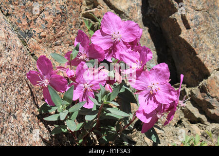 Dwarf Fireweed a.k.a. River Beauty Willowherb Chamerion latifolium (Epilobium latifolium) - Stock Photo