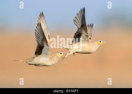Spotted Sandgrouse (Pterocles senegallus), a male and a female in flight - Stock Photo