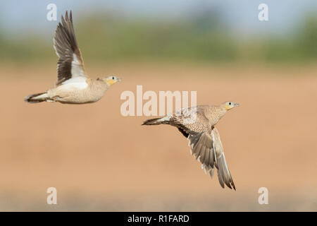 Crowned Sandgrouse (Pterocles coronatus), two females in flight - Stock Photo