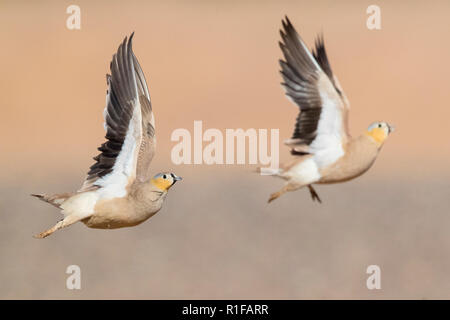 Crowned Sandgrouse (Pterocles coronatus), two adult males in flight - Stock Photo