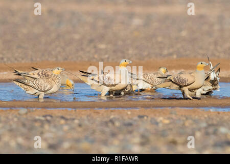 Spotted Sandgrouse (Pterocles senegallus), flock at drinking pool - Stock Photo