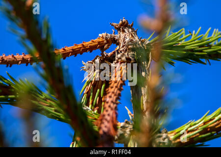 Spruce top on bright blue sky background. Fir tree top with needles in sunny day, Latvia. - Stock Photo