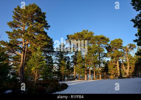 Forest walk in winter snow, Glenmore Forest Park, near Aviemore, Highland Region, Scotland - Stock Photo