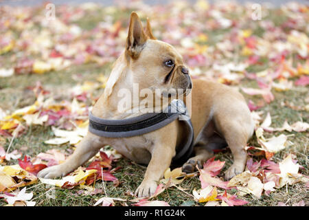 Curious French Bulldog young male in autumn background. - Stock Photo