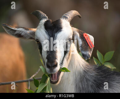 Targeted grazing by goat named Anastasia being being used for natural weed control in the city of Calgary - Stock Photo
