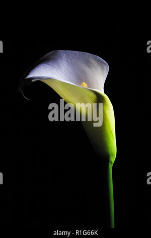 Calla lily white flower glowing isolated on black background - Stock Photo
