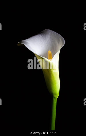 Calla lily isolated on black - Stock Photo