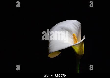 Calla lily on black background - Stock Photo