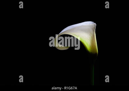 White Calla lily isolated on black background with copy space - Stock Photo