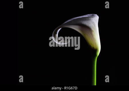 White Calla lily closeup isolated on black background with copy space - Stock Photo