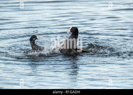 Coot; Fulica atra Two Fighting; Cornwall; UK - Stock Photo
