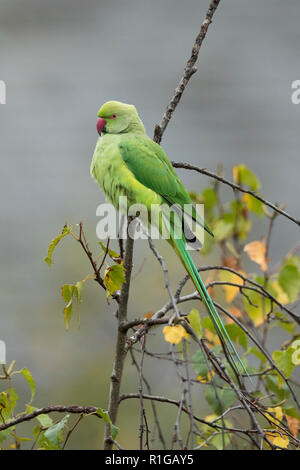 Ring Necked Parakeet; Psittacula krameri Single Female London; UK - Stock Photo