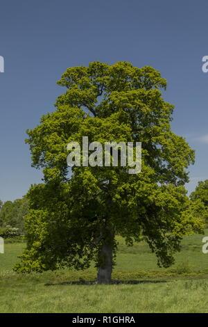Old Common Oak tree, Querus robur in meadow on Kingston Lacey estate, Dorset. - Stock Photo