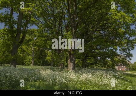 Nineteenth century oak plantation on Pamphill Green, with Cow Parsley. Kingston Lacy estate, Wimborne, Dorset. - Stock Photo