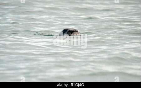The harbor (or harbour) seal (Phoca vitulina), also known as the common seal, is a true seal found along temperate and Arctic marine coastlines of the - Stock Photo