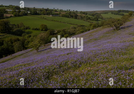 Dense bluebell sward in May on common land at Ashway Side, Tarr Steps, Barle Valley, Exmoor. - Stock Photo