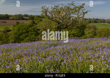Lichen-covered old hawthorn in dense bluebell sward in May on common land at Ashway Side, Tarr Steps, Barle Valley, Exmoor. - Stock Photo