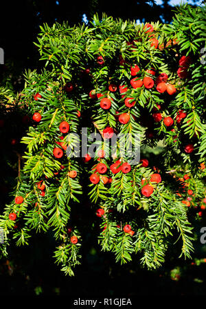 Yew tree with waxy red berries in autumn - Somerset UK - Stock Photo