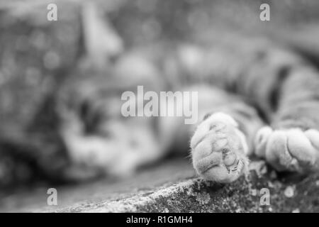 Black and white cat laying on the concrete. Paw in focus, blurred background. - Stock Photo