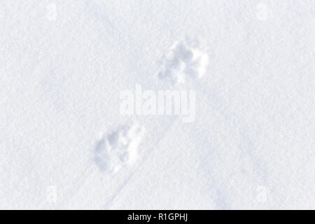 42,748.08685 close up of 2 coyote tracks crossing diagonally in fresh smooth snow - Stock Photo