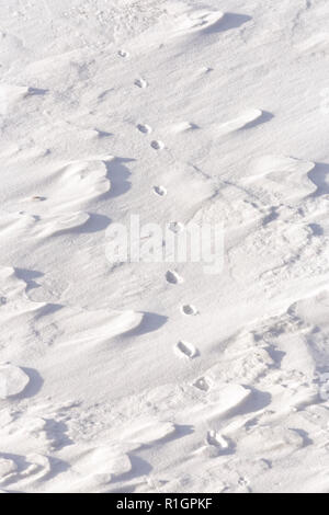 42,748.08781 close up of coyote tracks crossing walking in fresh snow - Stock Photo
