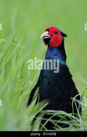 Close up head shot of a melanistic mutant pheasant in the long grass