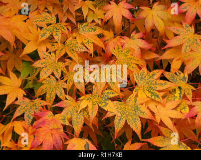 Autumn colour in Japanese Maple Acer palmatum leaves - part of the UK national acer collection at Westonbirt Arboretum in Gloucestershire - Stock Photo