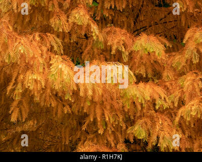 Beautiful autumn colour in the feathery branches of a dawn redwood tree Metasequoia glyptostroboides at Westonbirt Arboretum in Gloucestershire UK - Stock Photo