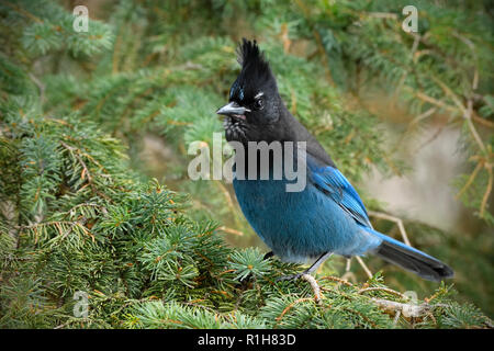 A horizontal image of a Stellers Jay  (Cyanocitta stelleri), perched on a green spruce tree branch in rural Alberta Canada - Stock Photo