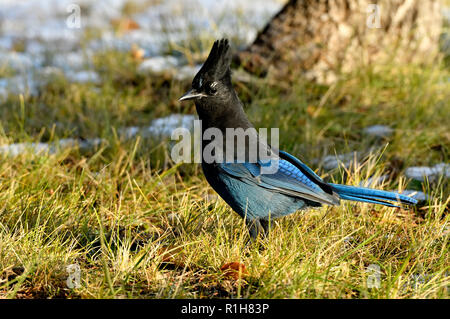 A horizontal image of a Stellers Jay  (Cyanocitta stelleri), hopping along under a spruce tree  in rural Alberta Canada - Stock Photo