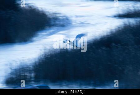 Whooper swan (Cygnus cygnus), flying in front of monochrome landscape in winter, Tysslingen, Örebro, Sweden - Stock Photo