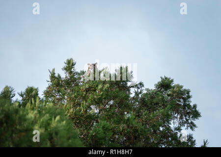 An adult female Great Horned Owl, Bubo virginianus, perched on an eastern redcedar tree, juniperus virginiana, in Oklahoma, USA. - Stock Photo