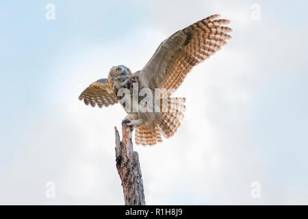 A juvenile female Great Horned Owl, Bubo virginianus, landing atop of a dead tree in Oklahoma, USA. - Stock Photo