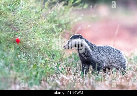 Male adult Badger out of its sett in an open field. - Stock Photo
