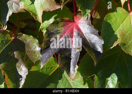 black and green and red colored ivy leaves macro shot, autumn multicolored hedera helix climbing on a concrete wall - Stock Photo