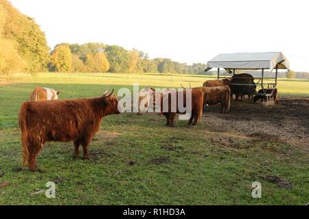 Hochlandrinder auf einer Weide in Bad Gögging, einem Ortsteil von Neustadt an der Donau im Altmühltal - Stock Photo