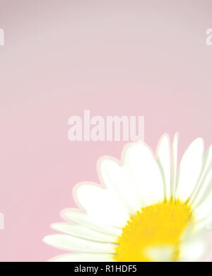 A close up of a daisy against a pink background. - Stock Photo