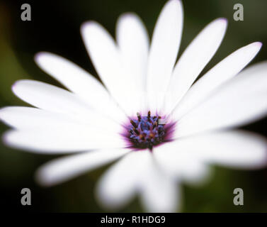 A close up of an osteospermum flower. - Stock Photo