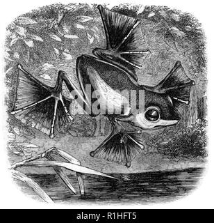 An illustration from The Malay Archipelago depicts the flying frog Wallace discovered. - Stock Photo