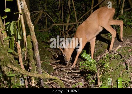 Roe deer (Capreolus capreolus) buck visiting a woodland stream to drink at night, near Bath, UK, May. - Stock Photo