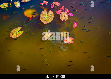 Lilypads floating on a calm fish pond. - Stock Photo