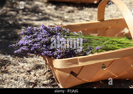 Freshly cut lavender in a woven basket from a Lavender Farm in Sequim, Washington - Stock Photo