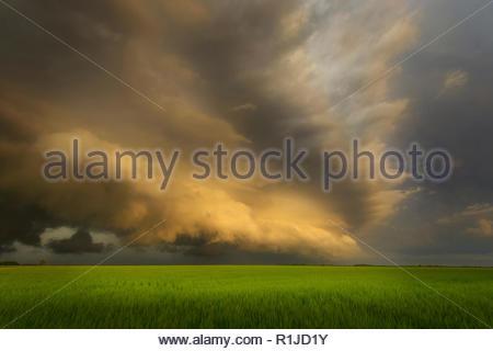 Shelfcloud at sunset over cornfield in Kansas, USA - Stock Photo