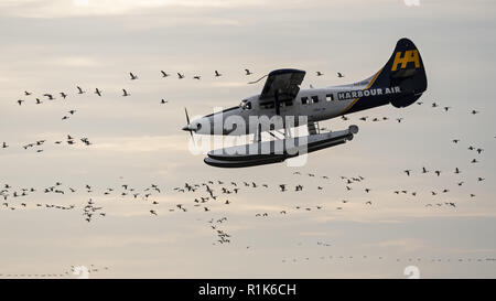 Richmond, British Columbia, Canada. 13th Nov, 2018. A Harbour Air DHC-3T Otter (C-GOPP) flies around a flock of migrating snow geese in order to land on the Fraser River at the floatplane facility of Vancouver International Airport. Credit: Bayne Stanley/ZUMA Wire/Alamy Live News - Stock Photo