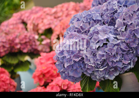 Blue and pink colorful blossing hydrangea bodensee. - Stock Photo