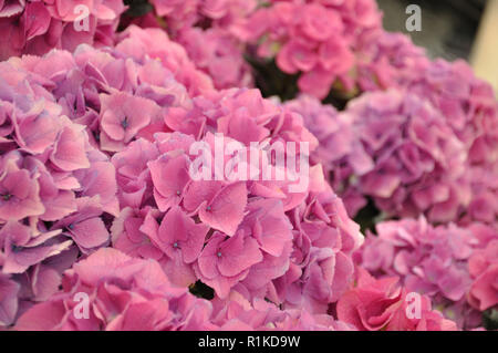 Pink colorful fresh beautiful blossing hydrangea bodensee. - Stock Photo