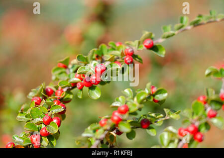 Firethorn plant (Pyracantha) with bright red berries or pomes in autumn - Stock Photo