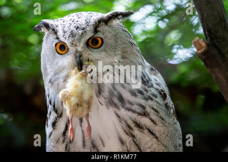 Siberian Eagle Owl with prey in the beak. Bubo bubo sibiricus, the biggest owl in the world. - Stock Photo