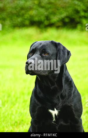 Black Labrador, with white patch on chest,  looks intently out of shot whilst sitting. Training gun dog sits and awaits command in green garden area. - Stock Photo